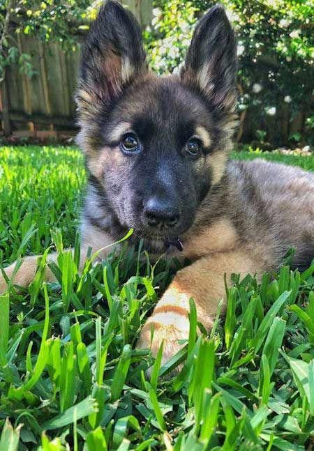 German Shepherd Puppy Laying In The Grass Dog Puppy