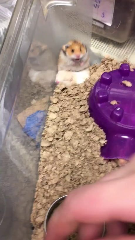 I Found The Original Funny Hamsters Hamster Cute Hamsters