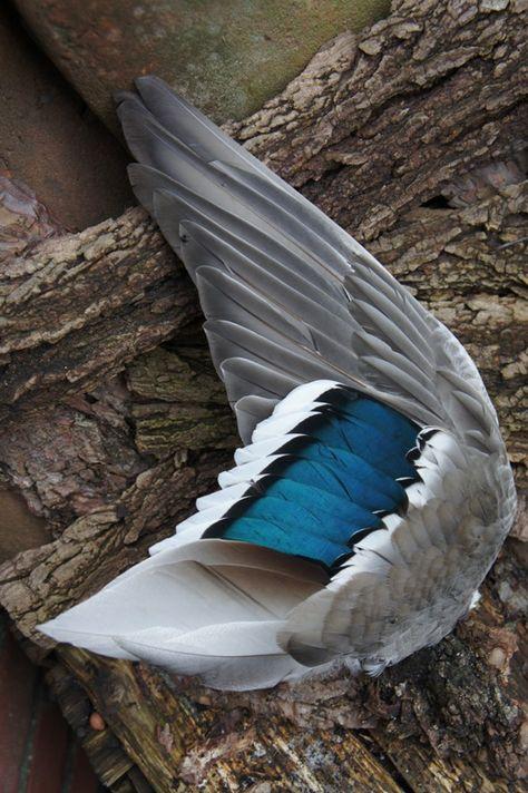 smudge smudgen veren veertjes en vleugels, fazant fazanten vleugel vleugels, eend eenden vleugel vleugels , grote veren en vleugels, duif duiven vleugel veren vleugels, zwaan zwanenveer, kalkoen kalkoenveer, gans ganzen ganzenveer, salie smudge stick, smu