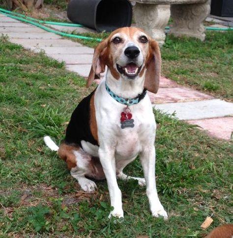 Beagle Dog For Adoption In Tampa Fl Adn 40261 On Puppyfinder Com