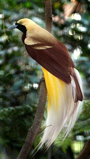 580 Koleksi Gambar Burung Cendrawasih Papua Terbaru