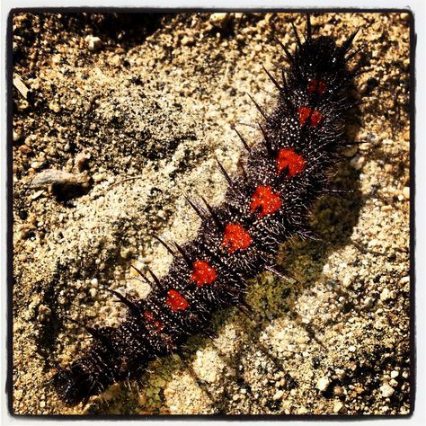 Fuzzy Caterpillar Red And Black Coated With Sand Crossing The Trail Fuzzy Caterpillar Caterpillar Animals