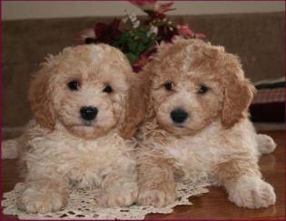 Bichon Poodle Puppies For Sale Poochon Dog Breeders Iowa Poodle Puppy Poochon Dog Hybrid Dogs