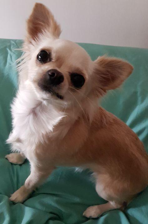 My 2 Year Old Chihuahua Bessie Chihuahua Doggy Corgi