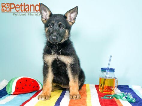 Puppies For Sale Puppies German Shepherd Puppies Shepherd Puppies