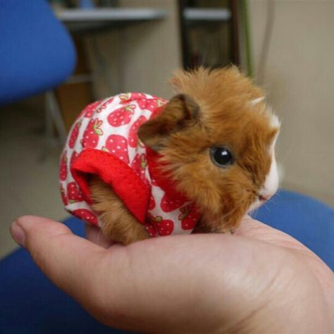 Baby Guinea Pigs, Guinea Pig Care, Baby Pigs, Baby Bunnies, Baby Animals Super Cute, Cute Little Animals, Baby Animals Pictures, Cute Animal Pictures, Cute Animal Memes