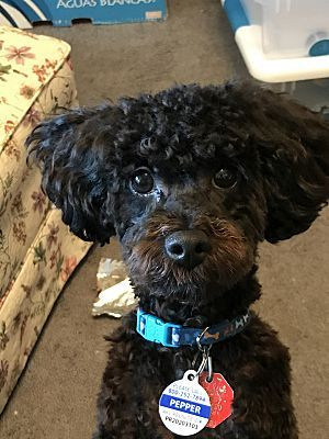 Lake Charles La Poodle Toy Or Tea Cup Meet Pepper A Pet For Adoption Toy Poodle Lake Charles Poodle