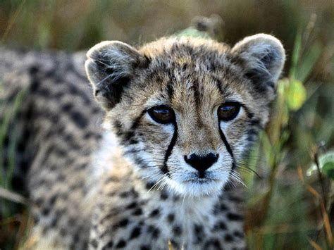 Cheetah Beautiful In Savana Wallpaper Hd Wallpaper Cheetah Wallpaper Cute Wild Animals Animals