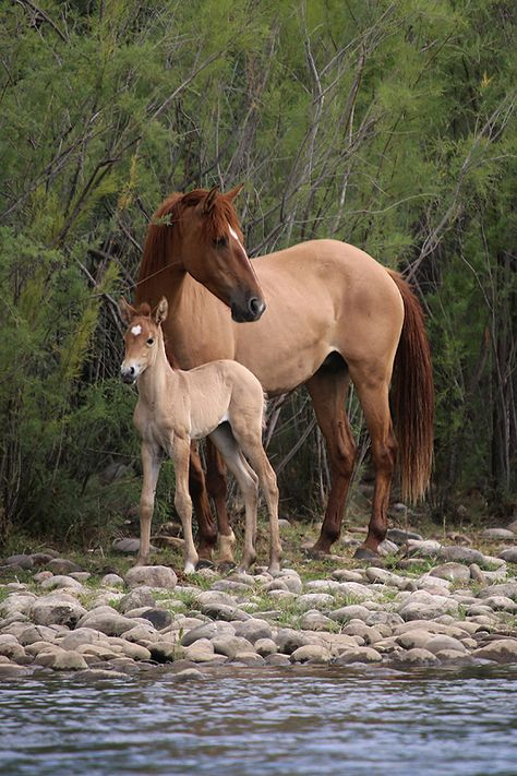Salt River wild horses - near Phoenix, AZ. Mother & foal.