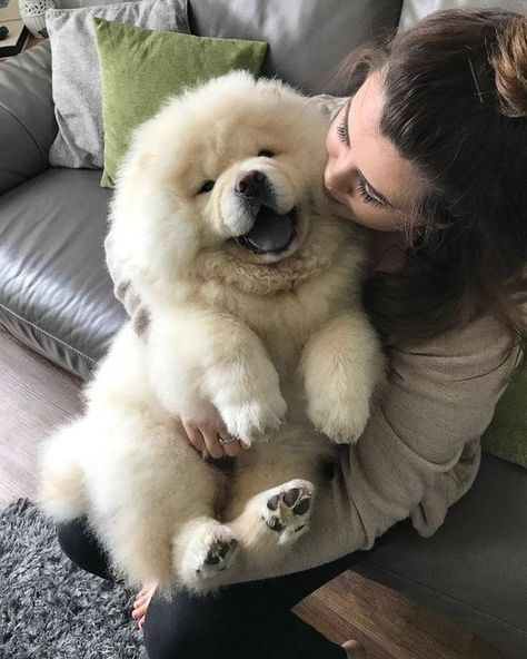 Dog Breeds Little .Dog Breeds Little Perros Chow Chow, Chow Chow Dogs, Puppy Chow, Puppy Husky, Pomeranian Puppy, Cute Baby Dogs, Cute Puppies, Cute Fluffy Dogs, Cavapoo Puppies