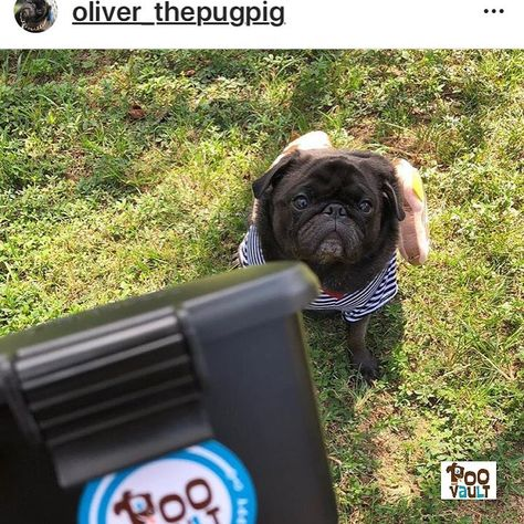 "How awesome is Oliver's sweet #pug face? He is all business, but not necessarily the smelly kind. He seems to be saying, ""pick it up because we have people to meet and places to go."" #pugsrock # # #pugalicious #pugworld #pugsnotdrugs #pugs #pugface #flatfaceddog #pugkid #pugdog #instapug #doghalloweencostume #cute #funny #happy #instacute #instapug #pugsarethebest #pugsareawesome #pugsofinstagram #puglife #pugdog #puglover #pug_feature #pugdog #pugsoninstagram #pugsofig #pugmania #pugslife #pugs"