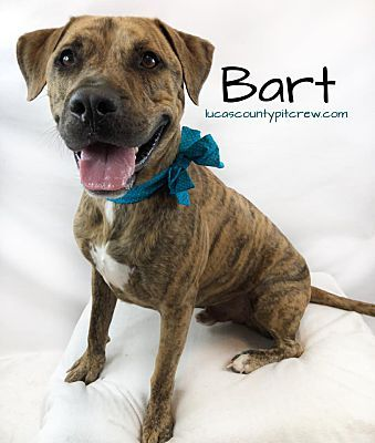 Toledo Oh Mastiff Meet Bart A Dog For Adoption Dog Adoption Mastiffs Nanny Dog