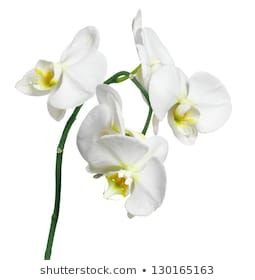 Similar Images Stock Photos Vectors Of White Orchid Isolated On White Background 426326476 Shutterstock In 2020 Orchids Beautiful Backgrounds Phalaenopsis