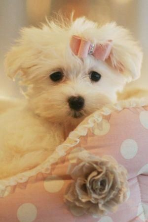 Dogs Dogs Lovers Instagram Posts Videos Stories On Webstaqram Com Teacup Puppies Maltese Maltese Puppy Cute Dogs