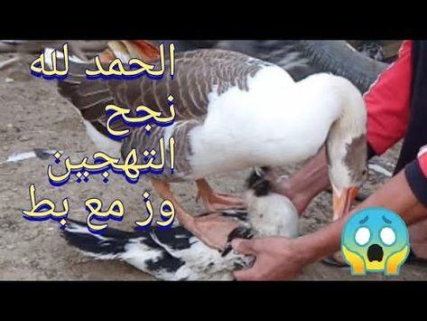 الوز مع البط نجح الحمد لله اصبح في سلاله جديده بين الوز والبط شاهد السلاله الجديده Youtube