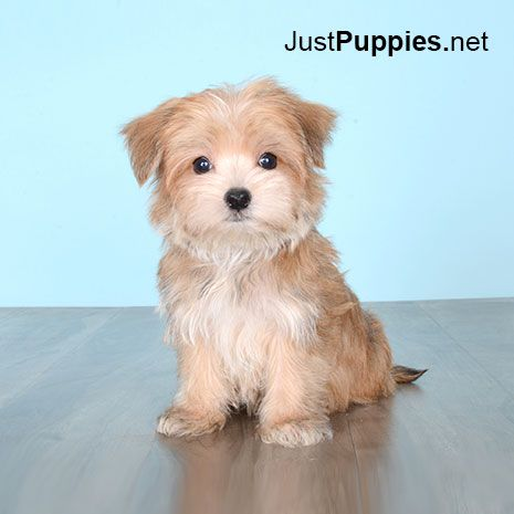 Puppies For Sale Orlando Fl Justpuppies Net Puppies Puppies