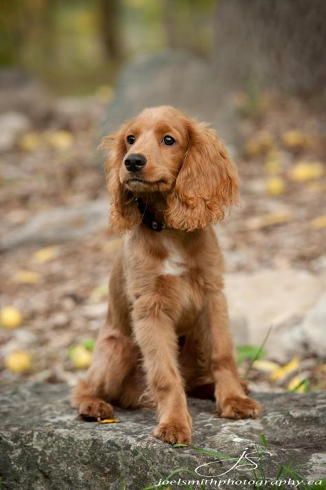 List of Pinterest cockapoo full grown chocolate pictures