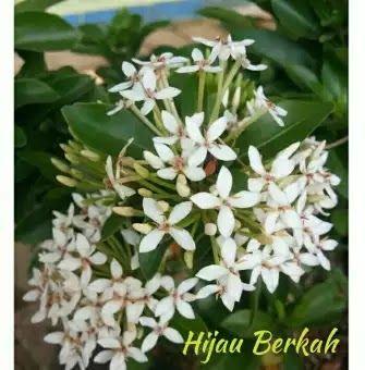 28 Gambar Bunga Asoka Putih Tanaman Hias Hidup Asoka Bunga Putih Soka Putih Download Jual Tanaman Hias Bunga Soka Putih Jakarta Bunga Gambar Bunga Tanaman