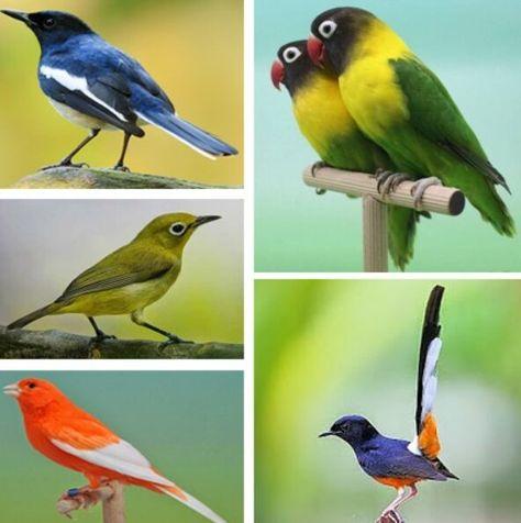 Memaster Burung Adalah Proses Melatih Burung Agar Dapat Merekam Dan Menirukan Suara Yang Berasal Dari Burung Atau Suara Suara Lain Burung Sangkar Burung Aster