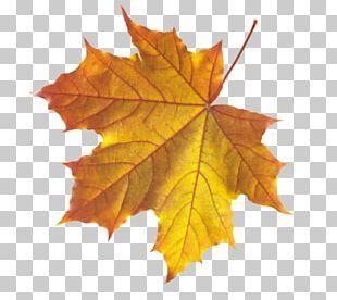 Autumn Leaf Color Maple Leaf Png Autumn Leaf Color Leaf Coloring Autumn Leaves