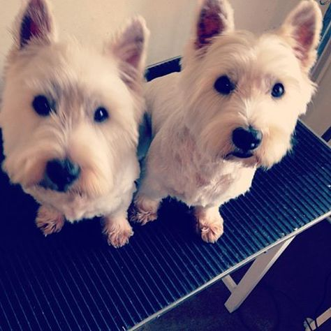 Rocky And Teddy The Westie Brothers Http Arnelvmacariola Com