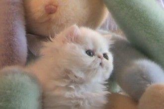 Kitten Persian Persian Kittens Persian Kittens For Sale Pretty