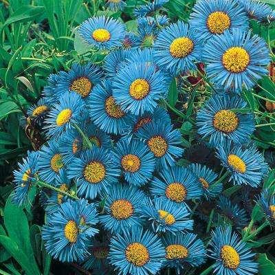 Daisy Perennials Plants Garden Flowers The Home Depot In 2020 Spring Hill Nursery Perennials Perennial Plants