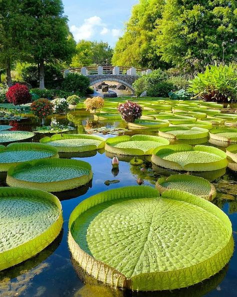 Lost in the water lilies Kusatsu Shiga Japan Fast Crazy Nature Deals. Beautiful Places To Travel, Beautiful World, Beautiful Gardens, Wonderful Places, Romantic Travel, Shiga, Places Around The World, The Places Youll Go, Giant Water Lily