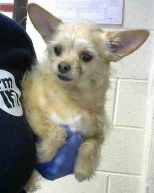 Urgent Atlanta Ga Senior Chihuahua Male 8 Yrs Old A863327