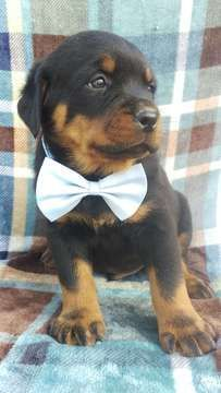 Rottweiler Puppy For Sale In Lancaster Pa Adn 67615 On