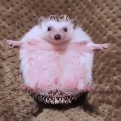 Just listen to the munching 😂  #listen #munching   Just listen to the munching 😂   Visit us for more cute #hedgehog