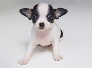 Chiweenie Puppies Alabama Chiweenie Puppies Cute Baby Animals