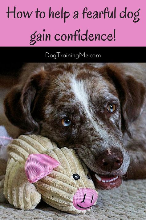Does your dog lack confidence? This can be a sign of a fearful dog. Find out how to tell when your dog is afraid and if you may be contributing to your dog's fear. Learn how to help a fearful dog gain confidence again. Click through now for a free dog training video. #fearfuldog #dogafraid #dogtraining
