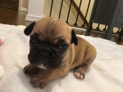 French Bulldog Puppy For Sale In Farmington Mo Adn 70577 On