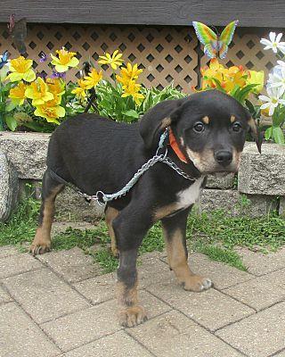 West Chicago Il Australian Shepherd Meet Ty A Pet For Adoption