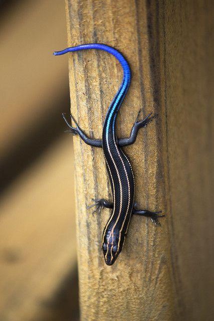 Blue Tailed Skink ニホントカゲ トカゲ カナヘビ