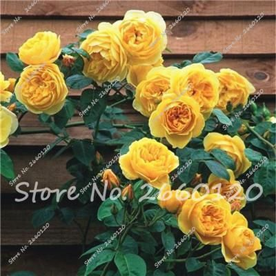 Big Sale 20 Pcs Rare Rose Tree Seeds, 24 Colors To Choose Beautiful Flower Seeds Potted ,Balcony &