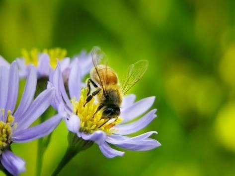 Photographic Print Honey Bee Collecting Pollen From An Aster Flower With Purple Petals By White Petteway 16x12in Aster Flower Bee Photographic Print