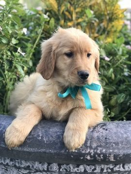 Golden Retriever Puppy For Sale In Lakeland Fl Adn 62078 On