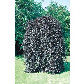3 58 Gallon Weeping Purple Beech Feature Tree In Pot With Soil