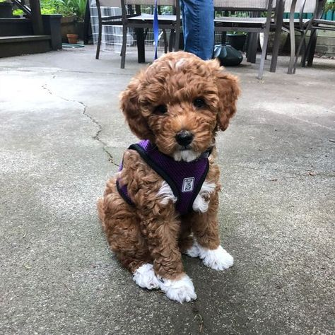 8 Things to Know About the Miniature Goldendoodle - DOGBEAST