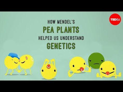 Como As Ervilhas De Mendel Nos Auxiliaram A Entender A Genetica