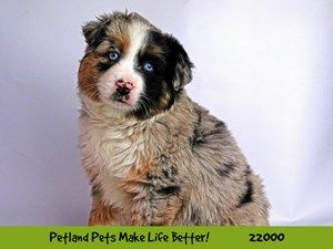 Dogs And Puppies For Sale Petland Naperville Illinois Puppy Adoption Puppies For Sale Puppies