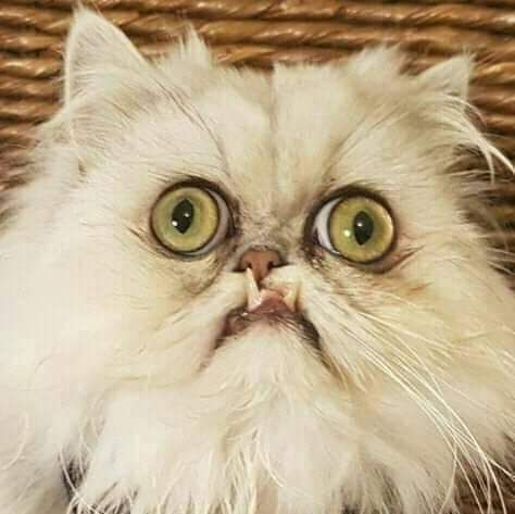 Another Weird Cat With Images Crazy Cats Cat Love Funny Animals