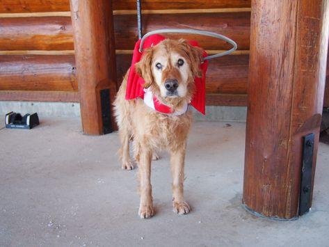 Ces ailes et ce halo aident mon chien aveugle à «voir» - #aident #ailes #aveugle #chien -     Lorsqu'ils voient sa course infaillible après et récupèrent un ballon, certaines personnes ont du mal à croire que mon Golden Retriever, âgé de 15 ans, Shakira, soit aveugle. Mais elle l'est, et sa tendance à se transformer en auto-tamponneuse à fourrure dans un environnement inconnu raconte l'histoire. On m'a récemment envoyé un produit d'examen appelé «Muffin's Halo» à essayer, et cela m'a tellement