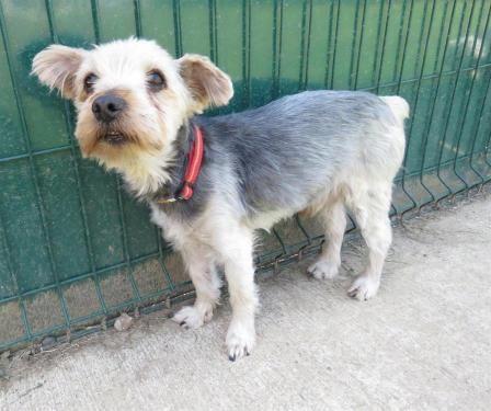 Adopter Chien El Paso Reserve 72 Refuge La Ferme Des Arches Yvre L Eveque Spa Societe Protectrice Des Animaux Animaux Yorkshire Terrier