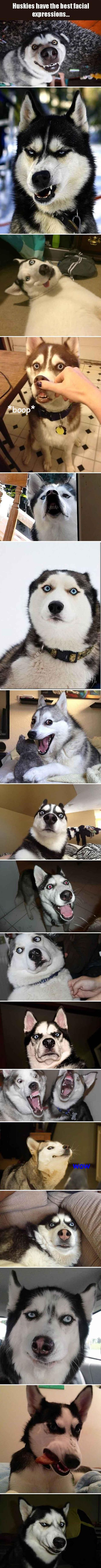 huskies have the best facial expressions
