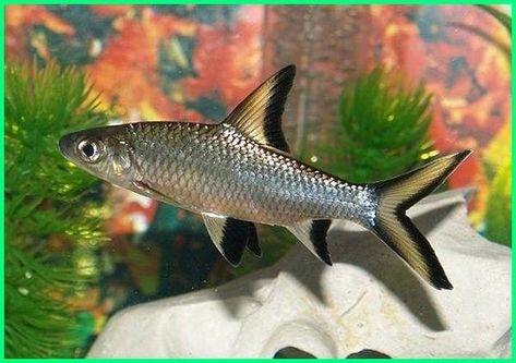 Panduan Lengkap Cara Merawat Ikan Hias Balashark Dunia Fauna Hewan Binatang Tumbuhan Ikan Tropis Ikan Akuarium Binatang