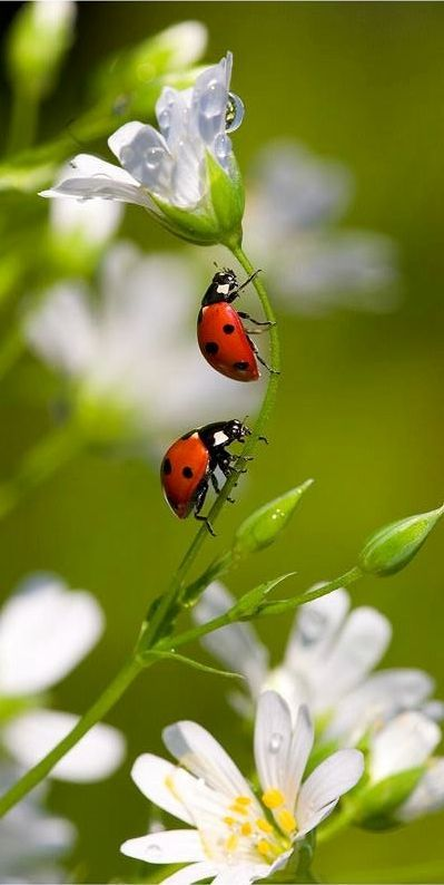 Who doesn't love a ladybird? definitely a good bug! Beautiful Bugs, Beautiful World, Beautiful Flowers, White Flowers, Beautiful Pictures, Beautiful Creatures, Animals Beautiful, Cute Animals, All Nature