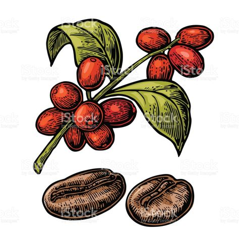 Coffee Bean Branch With Leaf And Berry Hand Drawn Vector Vintage